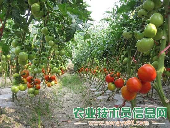 西红柿栽培管理要点