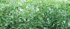 西红柿为啥坐果率低