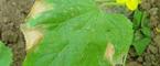 大棚蔬菜种植技术-黄瓜老叶的去和留
