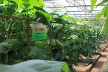 翠绿的黄瓜展览