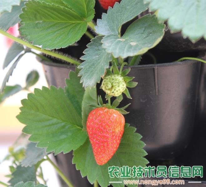 盆栽奶油草莓