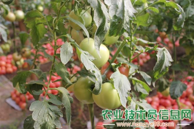 丰收的番茄