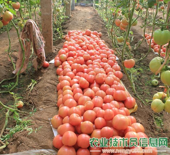 番茄(西红柿)
