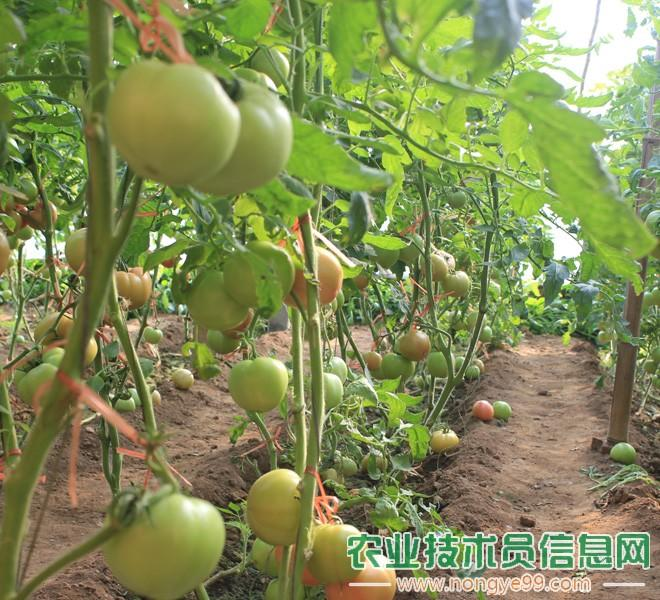 番茄种植大棚内景