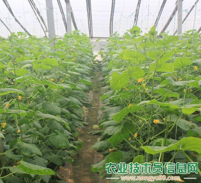 大棚黄瓜种植场景