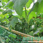 蔬菜博览会上的黄瓜种植展示