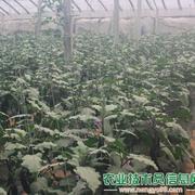 茄子的大棚种植场景