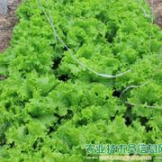 绿油油生菜