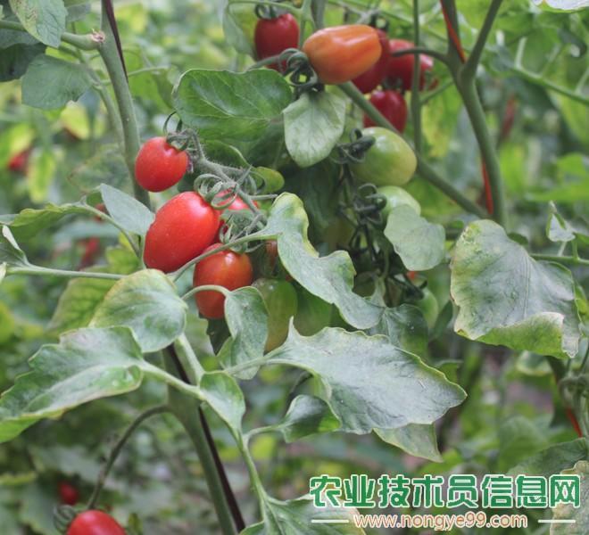 圣女果(樱桃番茄、樱桃西红柿)
