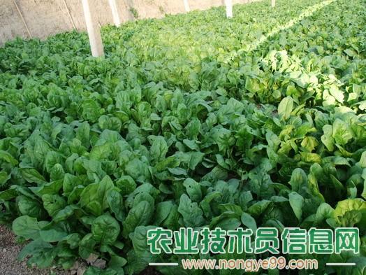 菠菜高温季节种植效益好