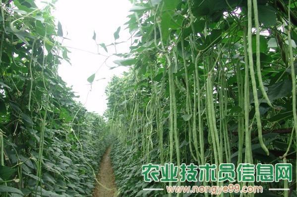 早春菜豆的常见问题及病害防治
