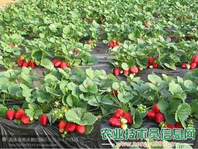 大棚草莓的栽培技术