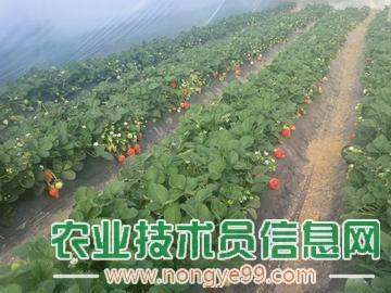 大棚蔬菜栽培 起垄盖膜产量高