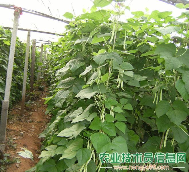 春季大棚蔬菜生产应注意的问题