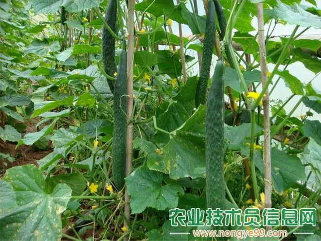 夏季蔬菜落花落果的原因和防治措施