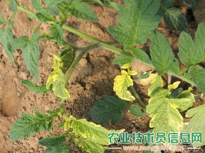 春季果类蔬菜黄叶的防治措施