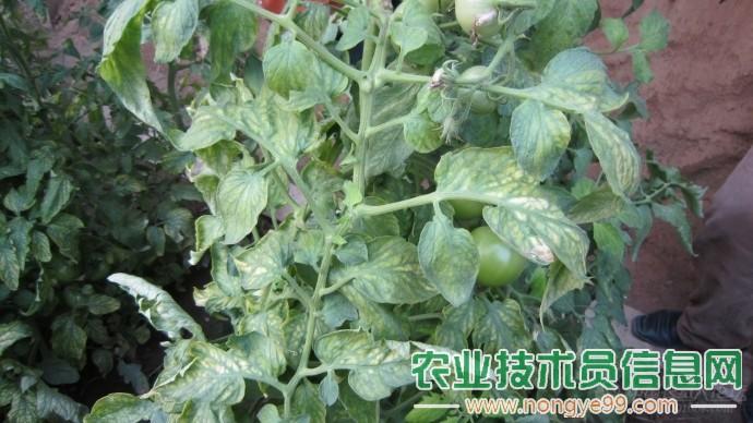 番茄黄叶卷叶分析