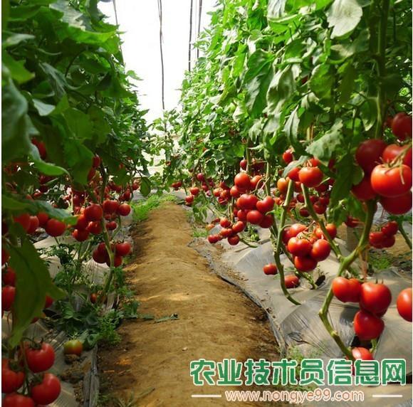 番茄(西红柿)的生理需肥分析