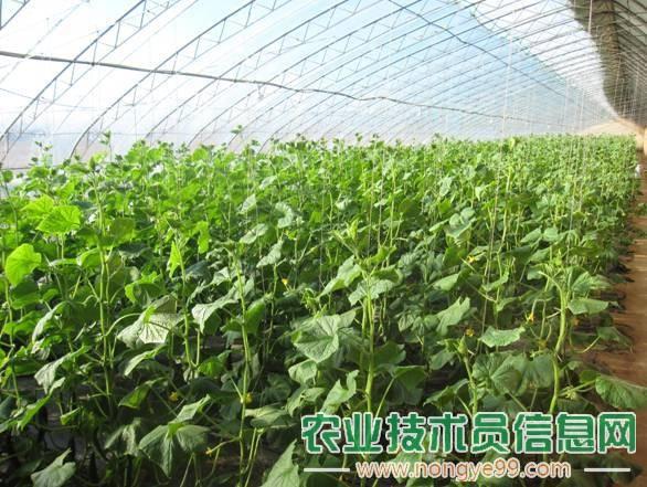 越冬黄瓜与苦瓜间作种植