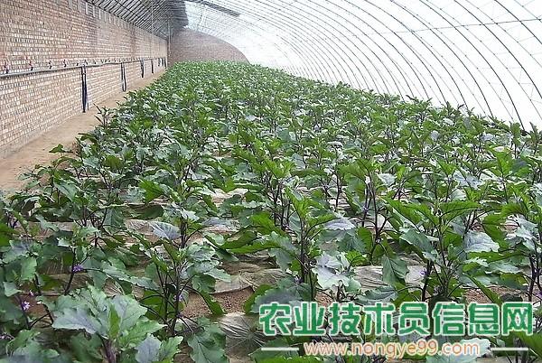 茄子大株巧移栽