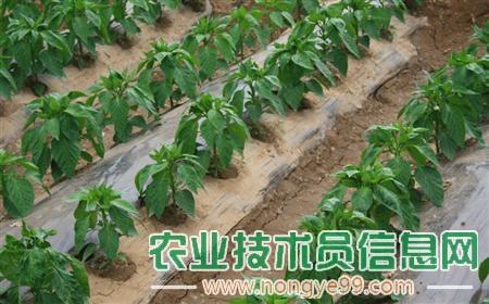 大棚甜椒越冬管理的重点