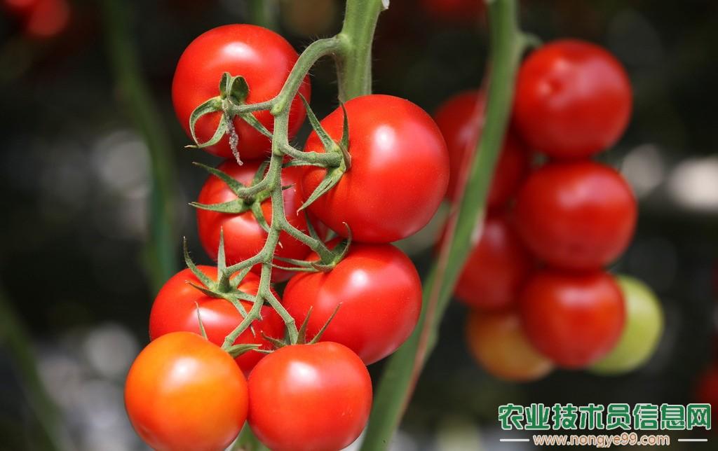 甜瓜与圣女果顶茬种植的方法