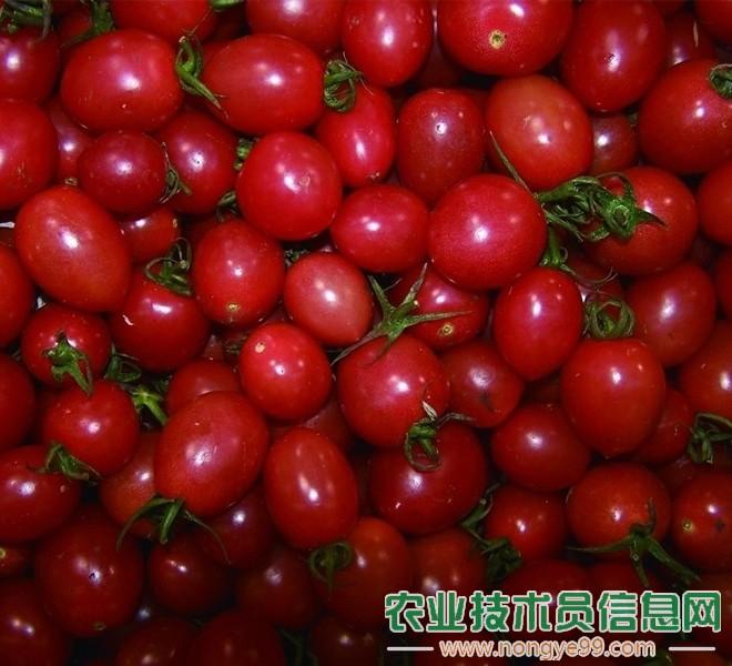 圣女果(樱桃番茄)果实大小的管理技巧