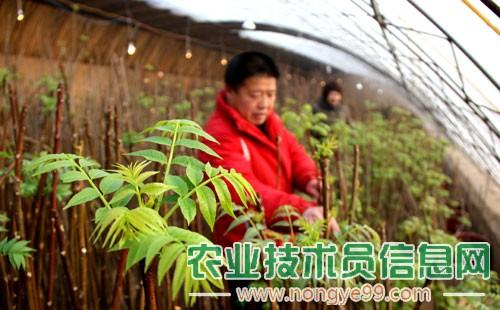 大棚种植香椿的技巧