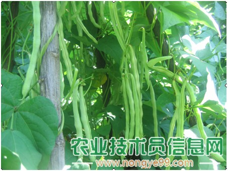 春茬芸豆的管理技术