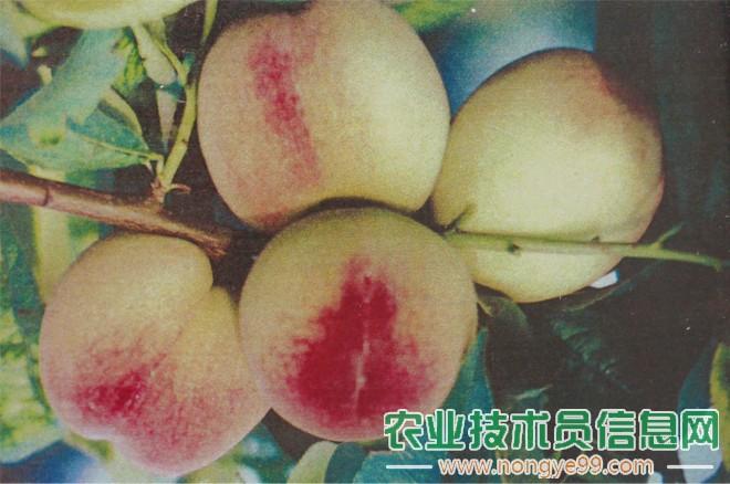 早年梁增龙培育的早熟桃