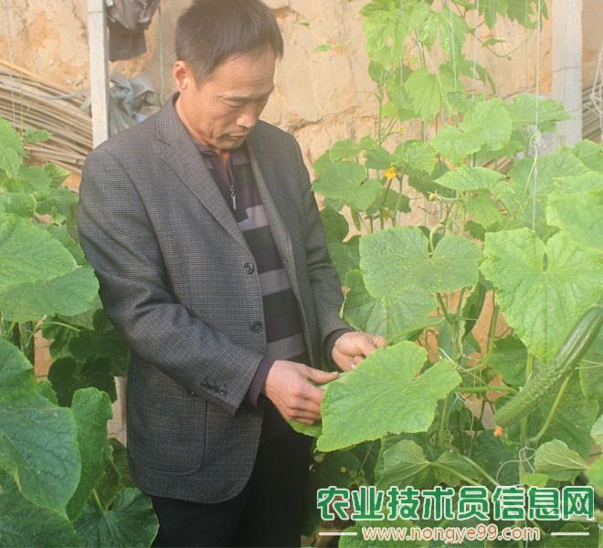 孙金刚在观察黄瓜的病害问题