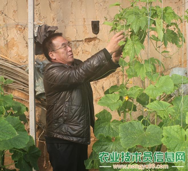 孙金明在观察黄瓜的病害问题