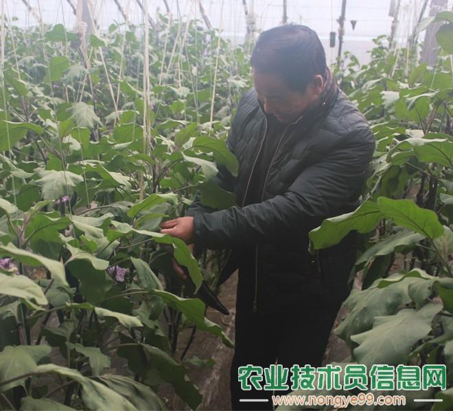 孙伟顺在观察茄子的病害情况