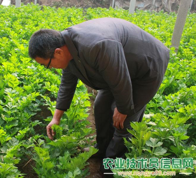 王长伟在观察芹菜的生长情况