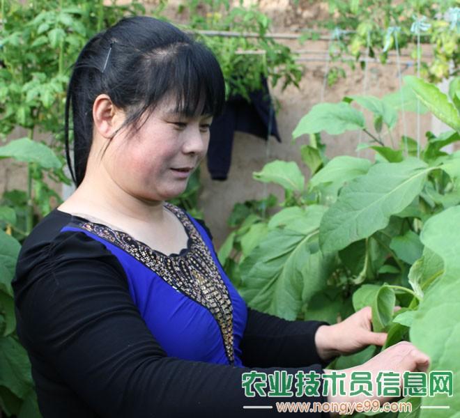 王淑芹正在观察茄子的病害情况