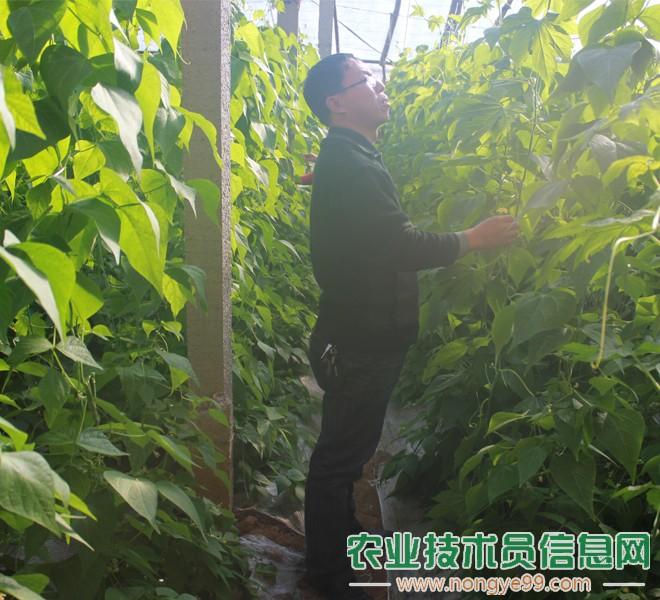 王文彬正在观察芸豆的生长情况