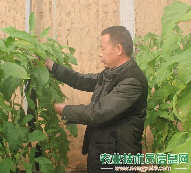 张宝金在观察茄子的生长情况