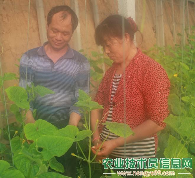 张炳亮在指导菜农进行黄瓜种植