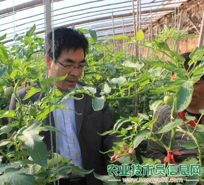 张克玉正在指导番茄菜农