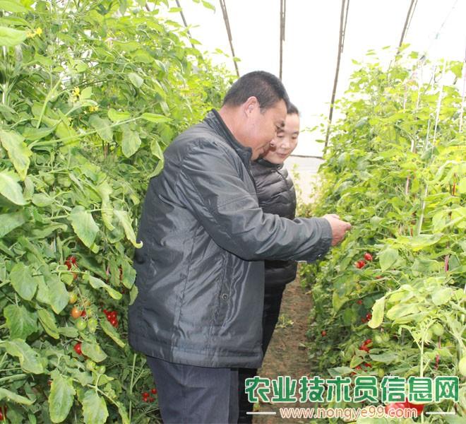 张勤成正在指导圣女果菜农