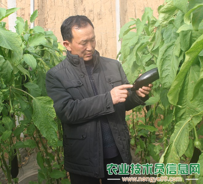 张文义在观察茄子的病害问题